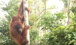 commemorating-international-orangutan-day-as-we-continue-our-efforts-to-protect-them