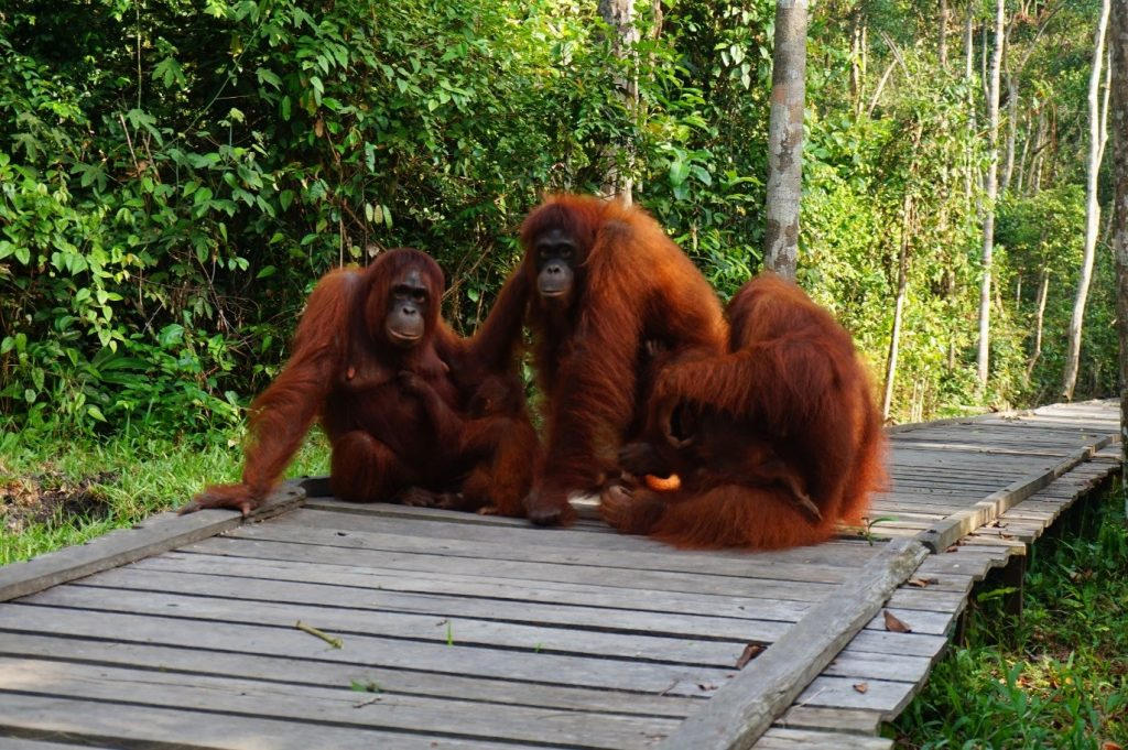 The three orangutans with their gentle dark brown eyes and enchanting smiles - according to scientists, orangutans may be our closest relatives.