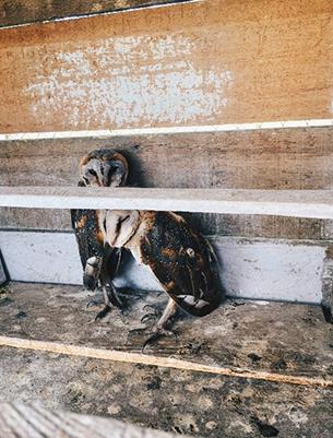 Burung hantu digunakan untuk mengontrol populasi tikus di perkebunan kelapa sawit