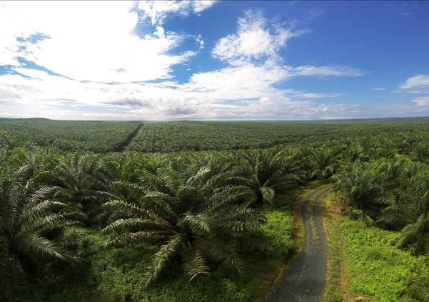 Perkebunan kelapa sawit di Kalimantan Selatan