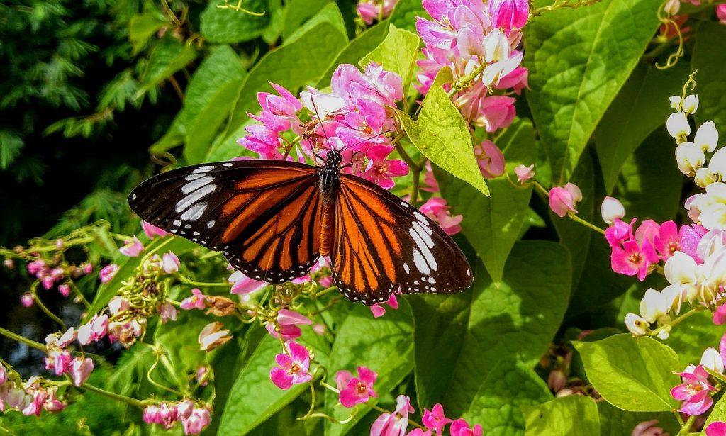 Kupu-kupu cantik hinggap di atas bunga berwarna merah muda